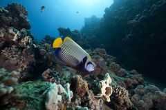 Regal angelfish and ocean Stock Images