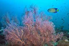 Regal Angelfish and Pink Seafan Stock Images