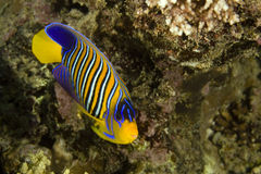 Regal angelfish (pygoplites diacanthus). 