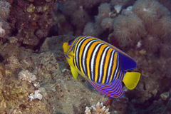 Regal angelfish (pygoplites diacanthus) Stock Photography