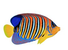 Regal angelfish (Pygoplites diacanthus) Stock Images