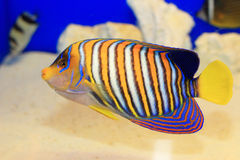 Regal Angelfish Royalty Free Stock Photography
