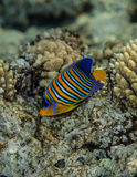 Regal angelfish - pygoplites diacanthus portrait. Portrait of regal angelfish - pygoplites diacanthus, Red Sea coral reef Stock Photo