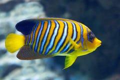 Regal Angelfish (Pygoplites diacanthus) Royalty Free Stock Photo