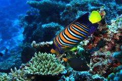 Regal angelfish. Pygoplites diacanthus underwater in the tropical coral reef Royalty Free Stock Photos