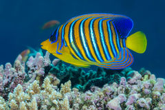 Regal angelfish Stock Photo