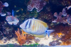 Regal angelfish - Pygopllites diacanthus. Wonderful and beautiful underwater world with corals and tropical fish stock photography