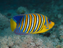 Regal angelfish. In red sea Royalty Free Stock Photos