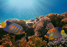 Regal angelfish in the Red Sea. Egypt Royalty Free Stock Photos