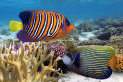 Regal Angelfish in the Red Sea. Egypt Stock Image