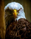 Regal Bald Eagle Looking Over His Shoulder. With muted toned background Royalty Free Stock Photos