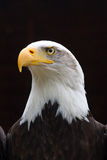 Regal Bald Eagle Portrait Royalty Free Stock Photos