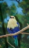 Regal Bird. A chubby bird with colorful feathers perches regally on a branch Stock Image