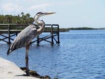 Regal Birds of Florida- The Great Blue Heron. The great blue heron looking out to the ocean Stock Image