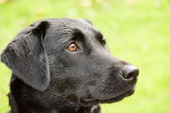 Regal Black Labrador. Head shot of wet Black Labrador stock photo
