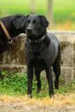 Regal Black Labrador. Black Labrador standing by a water trough royalty free stock image