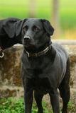Regal Black Labrador. Black Labrador standing by a water trough royalty free stock images