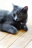 Regal Blue Gray House Cat Royalty Free Stock Photos