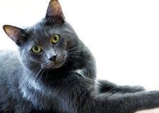 Regal Blue Gray House Cat Stock Photos