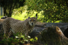 Regal Cheetah the fastest animal in the world. Cheetah is a sleek beautiful very fast animal timid by nature Royalty Free Stock Images