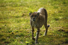 Regal Cheetah the fastest animal in the world. Cheetah is a sleek beautiful very fast animal timid by nature Stock Photos