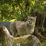 Regal Cheetah the fastest animal in the world Royalty Free Stock Photo