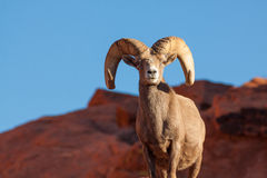 Regal Desert Bighorn Sheep Ram Royalty Free Stock Image