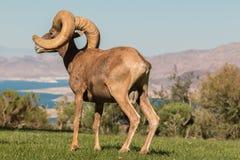 Regal Desert Bighorn Sheep Ram Standing Royalty Free Stock Images