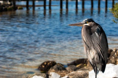 Regal Great Blue Heron Royalty Free Stock Image