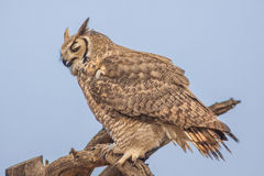 Regal Great Horned Owl Stock Images