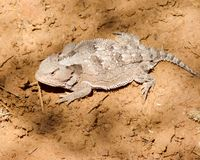 Regal horned lizard. Near Horton Creek, Arizona stock images
