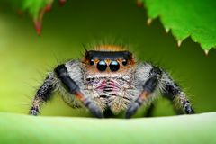 Regal jumping spider. Closeup of a small, hairy, female insect commonly called a Regal jumping spider.  Species:  Phidippus regius Stock Photography