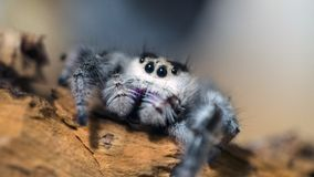 Regal jumping spider. Female regal jumping spider Stock Photo