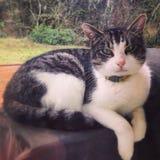 Regal katt fotografering för bildbyråer