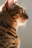 Regal kitty. Profile of beautiful Bengal car Royalty Free Stock Photos
