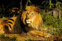 Regal Lion King. A regal lion rests proudly Stock Image