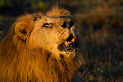 Regal male lion roaring in the African wilderness. An old male lion lying roaring in golden morning light in the Madikwe Game Reserve, South Africa stock photos