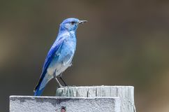 Regal Mountain Bluebird Perched Atop a Weathered Wooden Post royalty free stock image