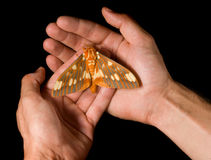 Regal Moth on hands. Regal Moth (Citheronia regalis) resting on hands Stock Photos