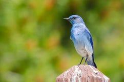 Regal Mountain Bluebird Perched atop a Wooden Post royalty free stock photos