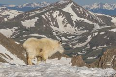 Mountain Goat Standing in Snow Royalty Free Stock Images