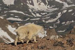 Mountain Goat Walking in the Alpine Stock Photography