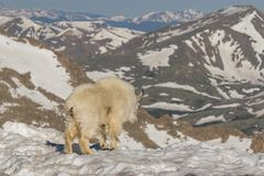 Mountain Goat in Snow Royalty Free Stock Image