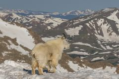 Mountain Goat in Snow in the Alpine Royalty Free Stock Photos