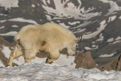 Mountain Goat Walking in Snow Royalty Free Stock Photography