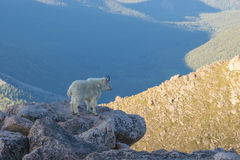 Regal Mountain Goat. A mountain goat looks out over the Colorado mountains royalty free stock photo