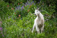 Regal Mountain Goat royalty free stock image