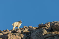 Regal Mountain Goat Standing. A mountain goat standing in the Colorado high country stock photos