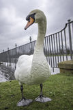 Regal mute swan. A mute (Cygnus olor) swan poses regally by the river royalty free stock photography