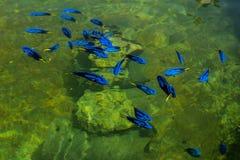 Regal Pacific blue Tang. In a farm, thailand Stock Photo